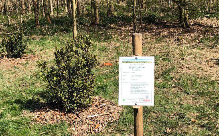 Stechpalme - Baum des Jahres 2021